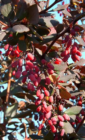A beautiful bush barberry in the autumn is additionally decorated with bunches of bright red berries.