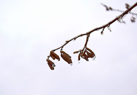 Icy branches and flowers of hazel after a rain at a negative temperature.