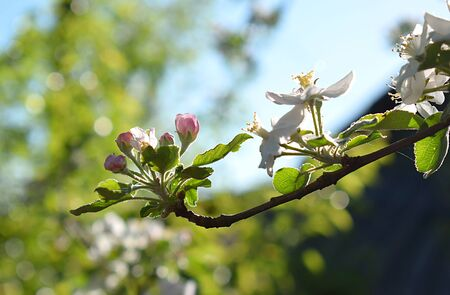 Buds of a burgeoning apple tree in a garden close up.