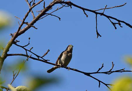 Bird Eurasian wryneck on a branch close-up against the sky.