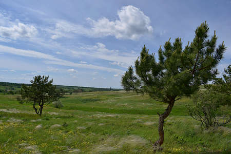 Landscape. Single pines in the steppe, growing in unfavorable conditions. Imagens