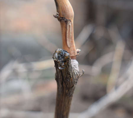 A drop of juice on a vine cut after the beginning of spring sap flow.