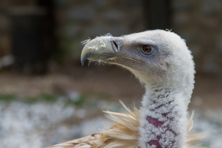 carrion: vulture Stock Photo