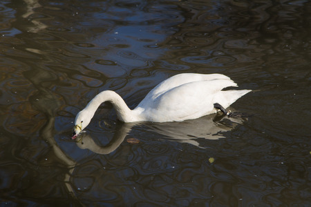 cygnet: white swan floating in a city pond