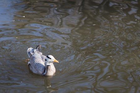 Ducks swim in a city pond in zoo photo