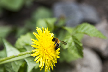 timelapse: bee collecting pollen on a dandelion on blurred background