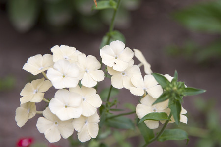 anthesis: inflorescence phlox flesh-colored soft background beds