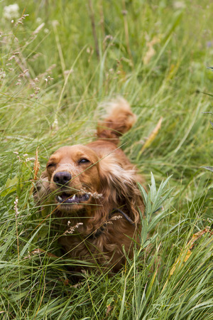 hunting cocker spaniel: Cocker Spaniel playing in the tall grass Stock Photo