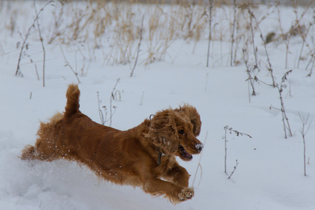 cocker: English Cocker Spaniel running in the snow