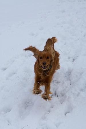hunting cocker spaniel: English Cocker Spaniel running in the snow