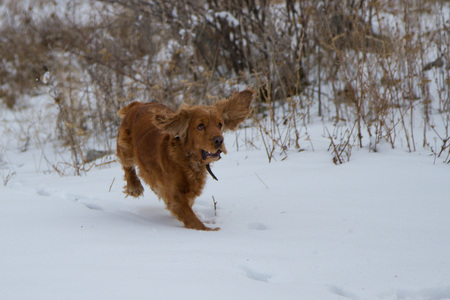 english cocker spaniel: English Cocker Spaniel running in the snow
