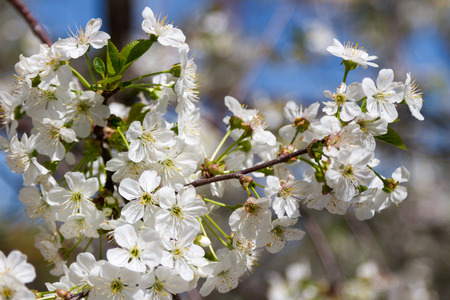 early blossoms: cherry blossoms in early spring on a sunny day Stock Photo