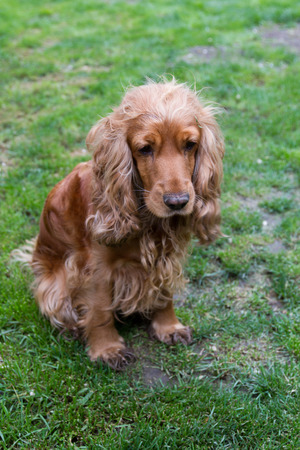 hunting cocker spaniel: sad English Cocker Spaniel on the lawn
