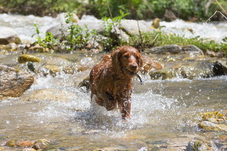 Wet English Cocker Spaniel hunting in creek