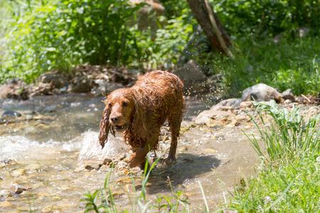 hunting cocker spaniel: Wet English Cocker Spaniel hunting in creek