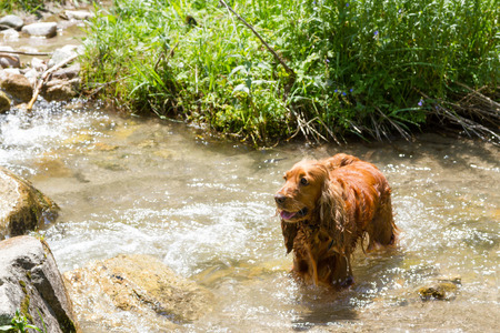 english cocker spaniel: Wet English Cocker Spaniel hunting in creek