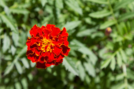 colorful marigold flower on a background of green foliage Stock Photo