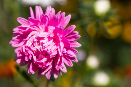 Pink chrysanthemum flower in the bud in the blurry background Stock Photo
