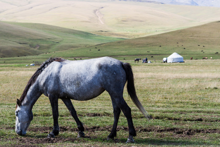 mongolia horse: horse on the background of the yurt in the mountains of Kazakhstan