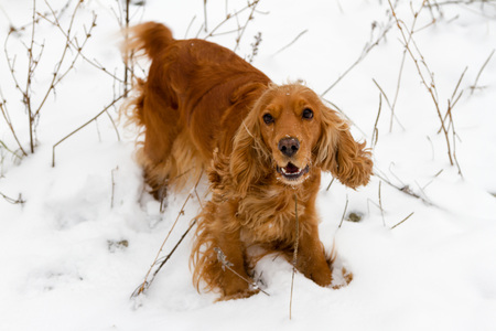 hunting cocker spaniel: English Cocker Spaniel in the snow with a cute snout
