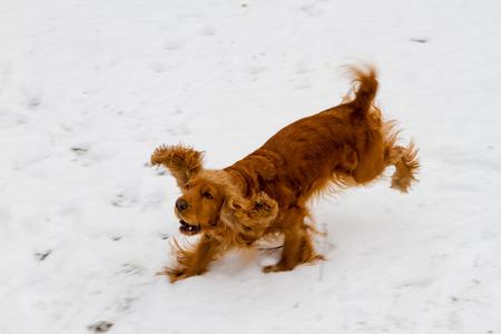 English Cocker Spaniel and the game on the white snow Stock Photo