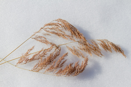 rushes: dry twigs of grass lying on the white snow