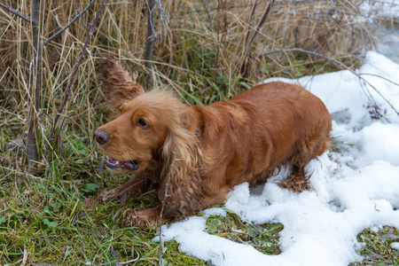 Spaniel is the first snowfall caught the ear of a grass