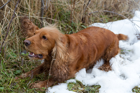 Spaniel is caught the ear of a grass Stock Photo
