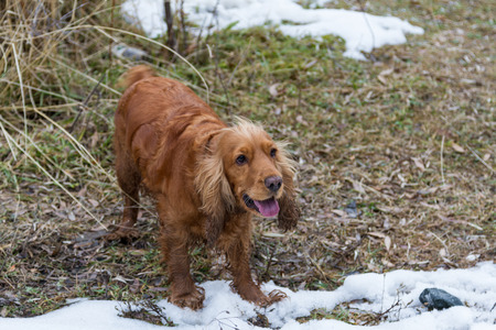 Spaniel stands in snow in early winter