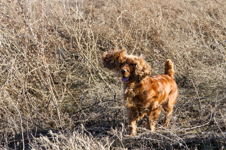 hunting cocker spaniel: stand in the grass cocker spaniel while hunting