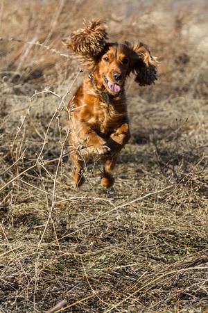 Spaniel jumping through dry grass during a walk