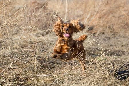 hunting cocker spaniel: jumping cocker spaniel among dry grass during a hunt