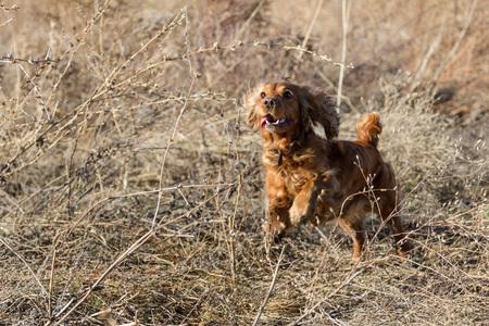 hunting cocker spaniel: cheerful Spaniel in dry grass runs on the hunt Stock Photo