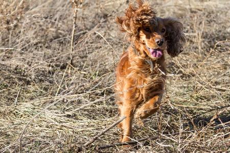 hunting cocker spaniel: cheerful cocker spaniel running on dry grass