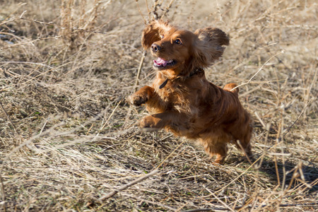 hunting cocker spaniel: Spaniel jumping on dry grass during a walk
