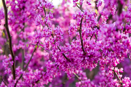 Cercis silastrum crimson blossom on Easter holiday