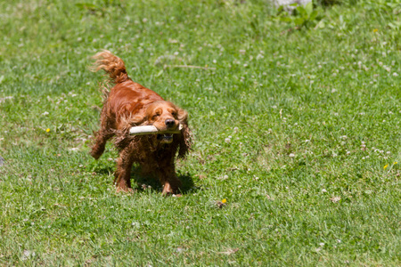 Funny spaniel with a stick in his teeth on the green grass