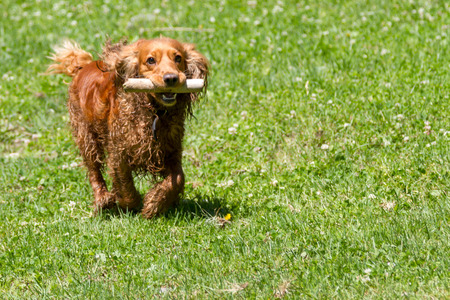 Young cocker spaniel runs with a cane in his teeth