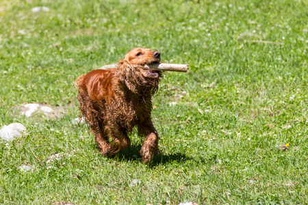 Cocker Spaniel with a stick in his teeth running along the grass Stock Photo