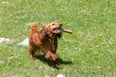 Cocker Spaniel with a stick in his teeth