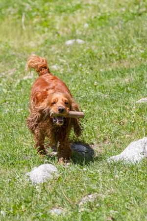 Cocker Spaniel runs with a stick in his mouth Stock Photo