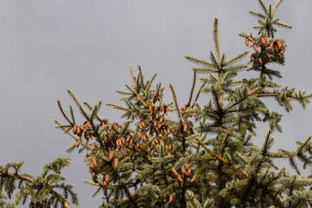 cones on the branches of spruce growing on the vertex
