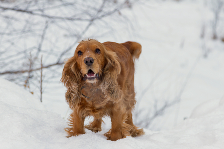 spaniel plays in winter on white snow