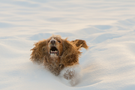 english cocker spaniel stuck in deep snow Stock Photo