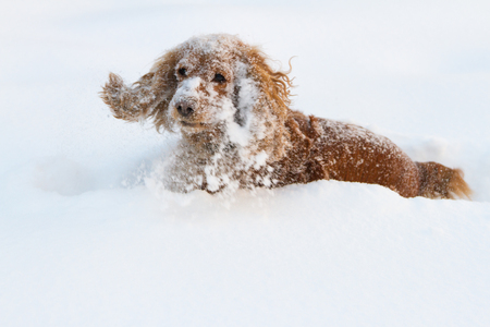 beautiful spaniel cocker spaniel in deep snow