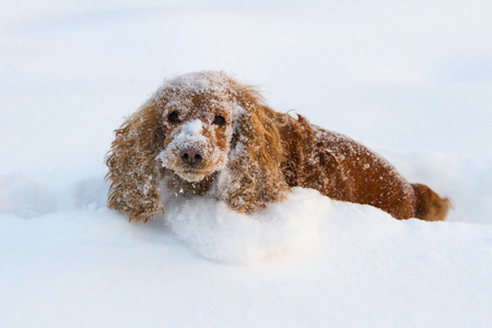 English Cocker Spaniel stuck in deep snow trampling a tunnel
