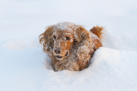English Cocker Spaniel playing in deep snow in nature