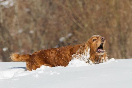 English Cocker Spaniel barks on a walk in white snow