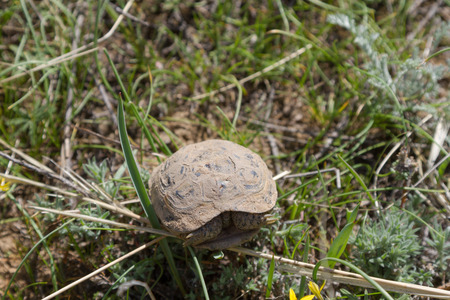 spring turtle in the steppe of Kazakhstan