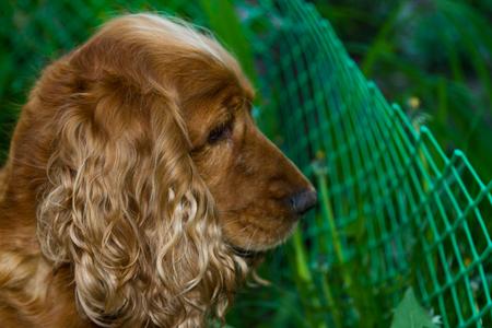 English Cocker Spaniel head shot close up